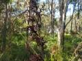 Mature Gahnia Seed