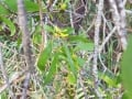 Persoonia levis flower buds