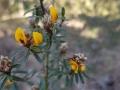 Pultenaea myrtoides