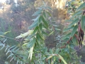 Styphelia viridis