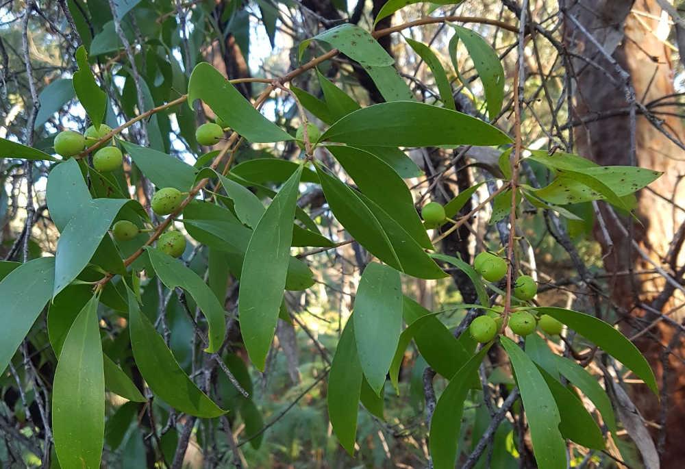 Persoonia lanceolata unripe fruit
