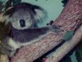 koala-display-018