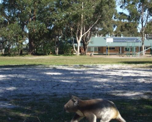 Koala-running-to-safety