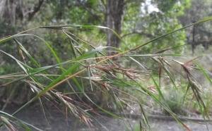 Themeda australis