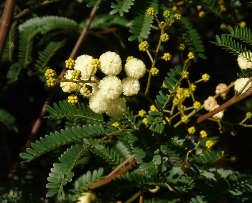 Acacia Terminalis flower