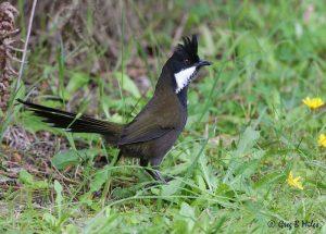 eastern_whipbird