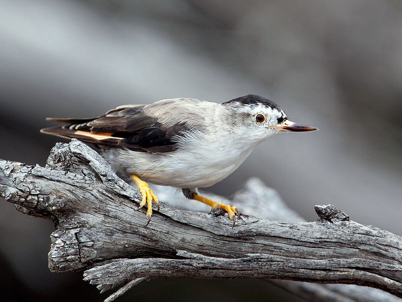 male varied sittella