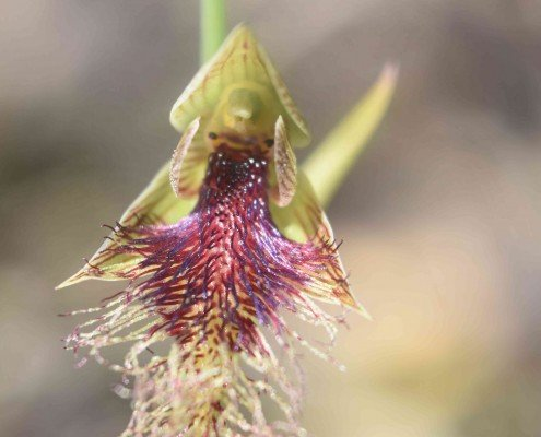 Copper beard orchid