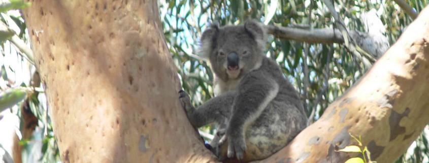Tilligerry Koala