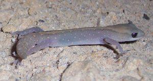 eastern stone gecko