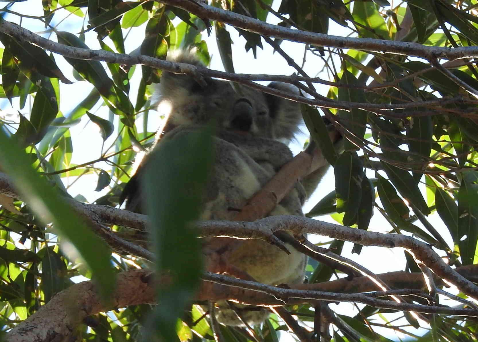 Koala is camera shy