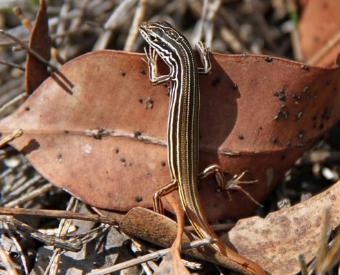 Copper Tailed Skink