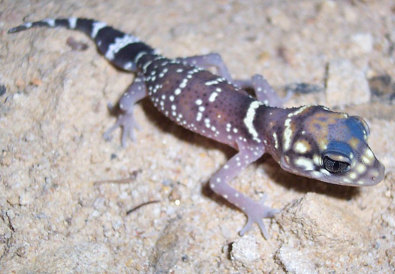 Thick Tailed Gecko Tilligerry Habitat Reserve