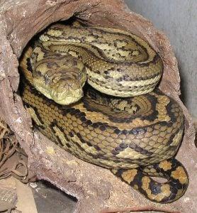 Australian Carpet Python