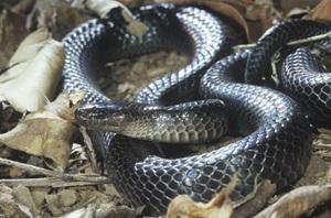 Small Eyed Snake