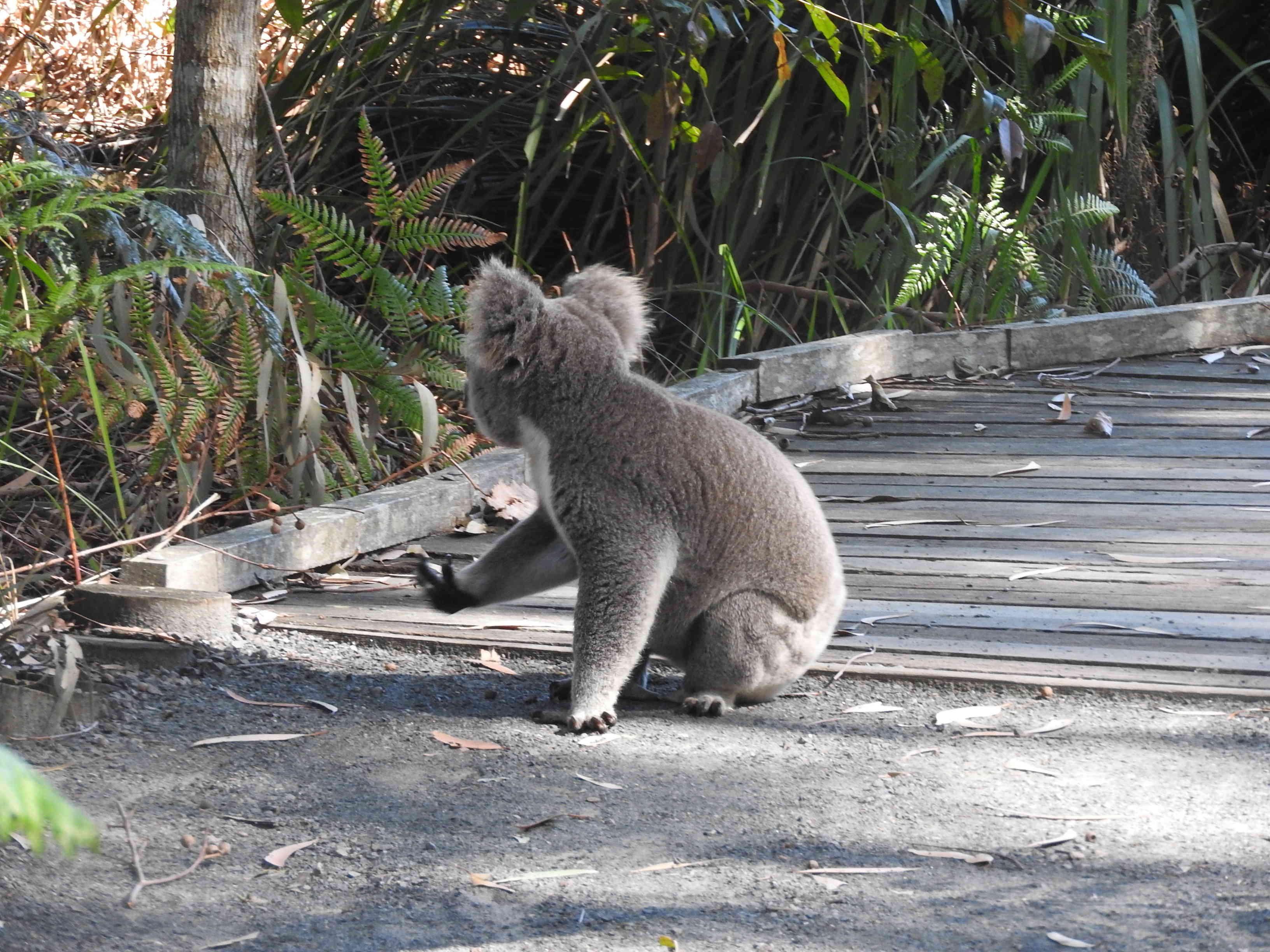 Koala on Path