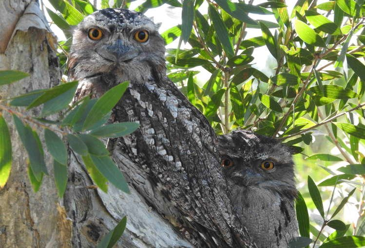 Tawny Frogmouth adult and young