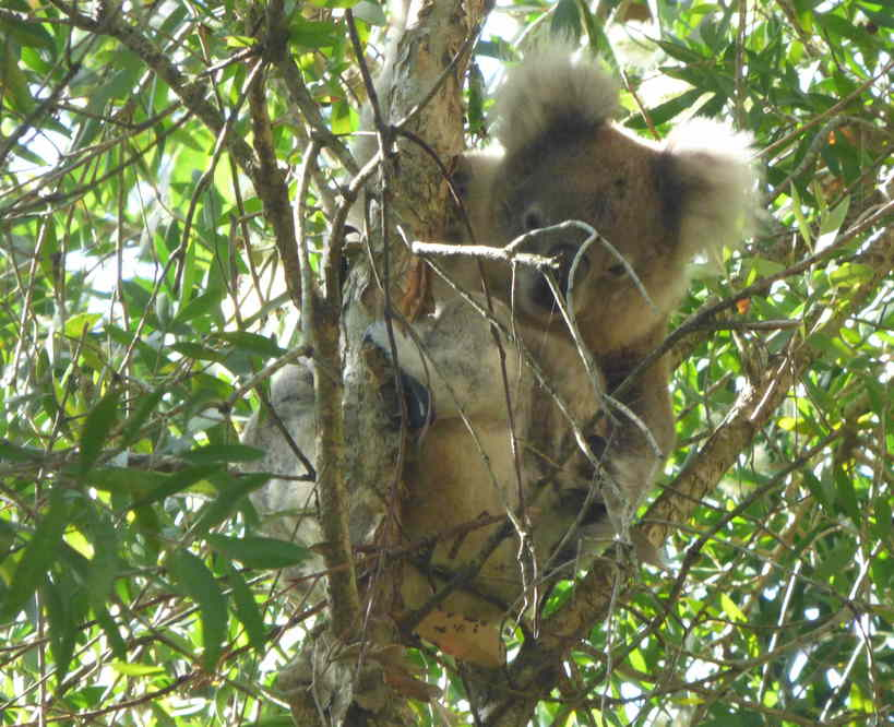 Koala03062016B