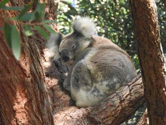 Koala23052016