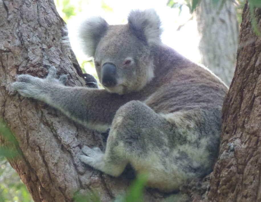 Koala28022016