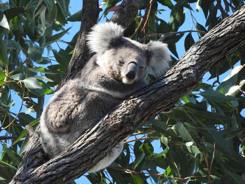 Koala30052016