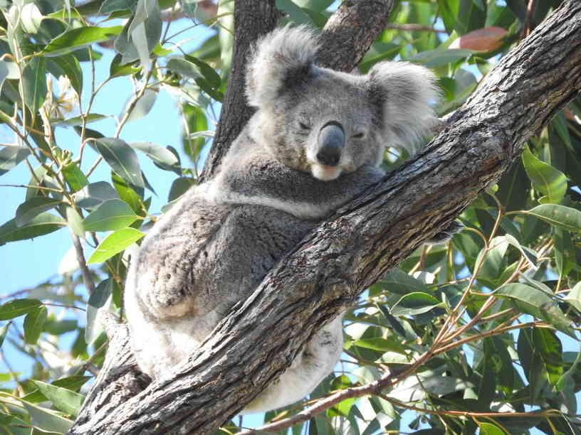 Koala300520162