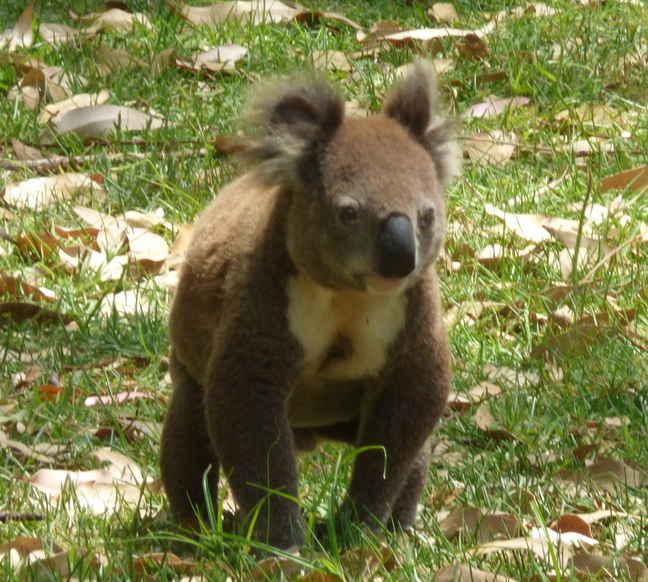 KoalaWalk15022016