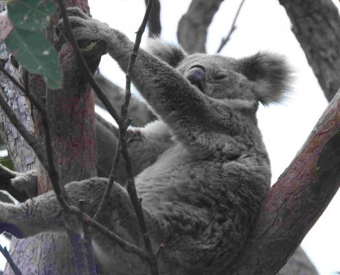 Female Koala with Joey?