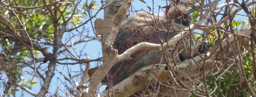 Koala in Paperbark Tree