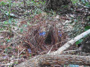 Bower in Habitat