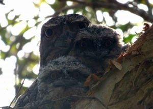 tawny frogmouth and two chicks