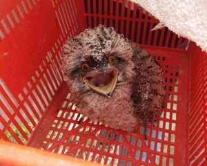 Tawny chick in basket